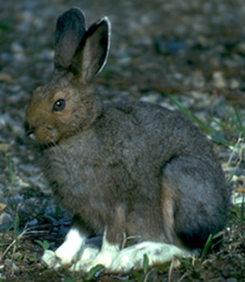 The snowshoe hare is a vital part of the forest food web.