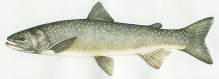 Drawing of a Bull Trout