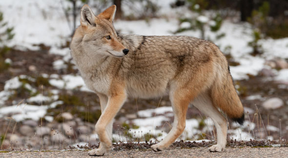 Coyote © Parks Canada / R. Gruys