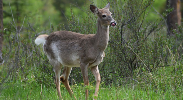 White-tailed deer © O. Robinson