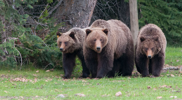 Grizzly Bear © M. Bradley