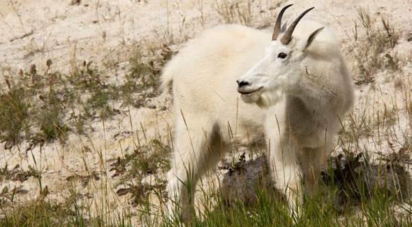 Mountain Goat © R. Bray