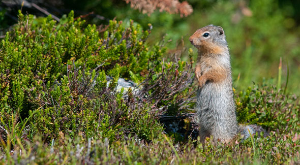 Columbian Ground Squirrell © M. Bradley