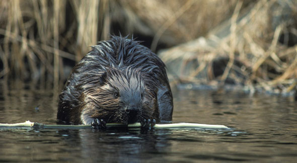 Beaver © Wayne Lynch