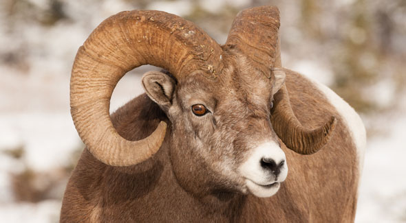 Bighorn Sheep © R. Gruys