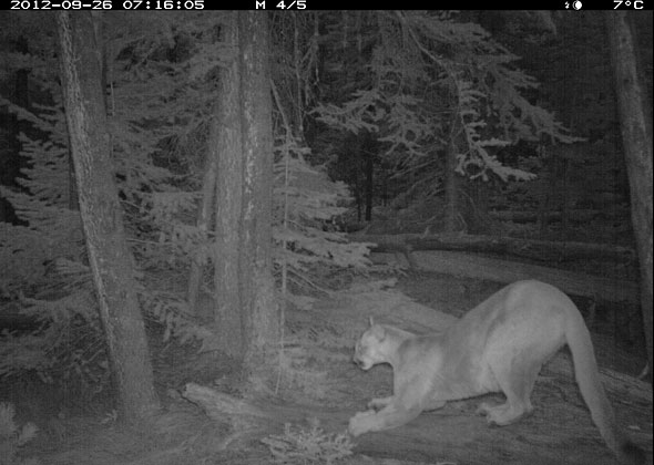 A remote camera in Waterton Lakes National Park captures a cougar scratching a log