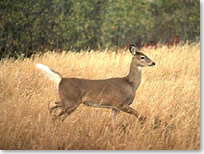 White-tailed deer running with its tail flipped up