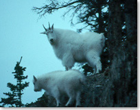 Two mountain goats look down from a rocky ledge