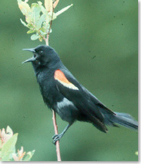 A close-up of a redwinged blackbird as it calls out from a shrub