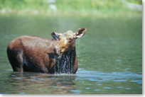 Moose standing up to its belly in the water