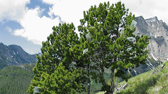 Healthy whitebark pine trees