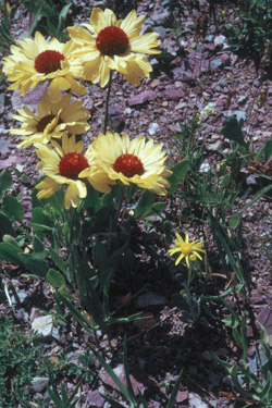 Group of yellow daisy-like flowers