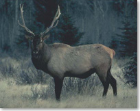 Spectacular view of a bull elk with huge antlers
