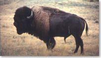 Close up image of male bison