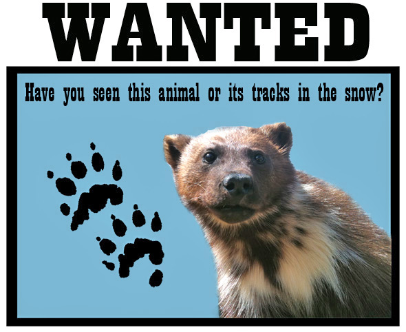 Wolverine wanted poster - have you seen this animal or its tracks in the snow?