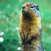 Common Mammals of Mount Revelstoke and Glacier national parks brochure