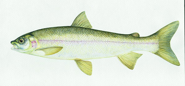 Mountain Whitefish