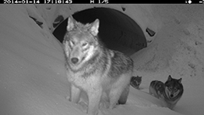 Remote camera image of wolves using an underpass in Kootenay National Park