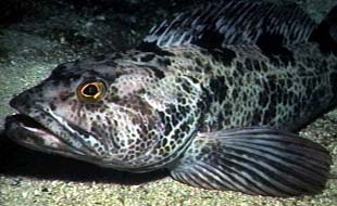 Lingcod are non-migratory making them susceptible to over harvesting