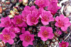 Purple saxifrage flowers in full bloom on arctic tundra.
