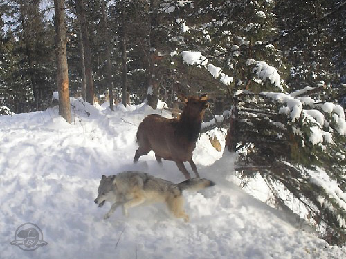 Wolf and Elk