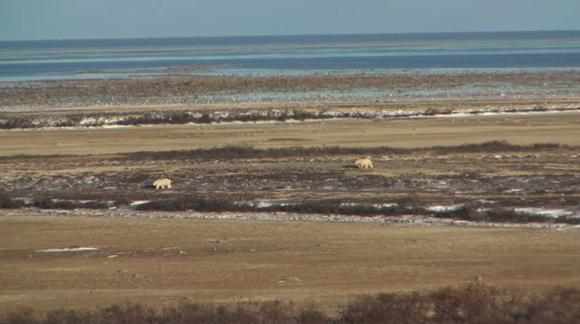 Webcam image of polar bears at Cape Churchill