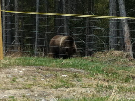 BEAR FENCE IS A GOOD BEAR DETERRENT