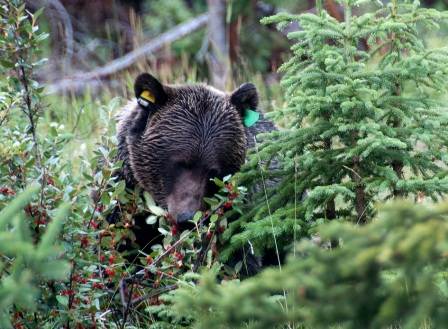 Grizzly bear eating buffaloberries © Parks Canada / A. Taylor