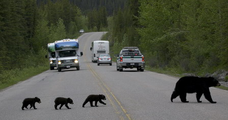 Black bear with cubs crossing the road in Jasper National Park © Parks Canada/J. McCormick