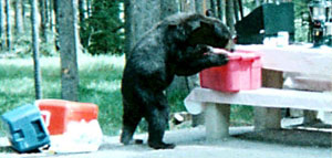A black bear eating food that was left out at a campsite