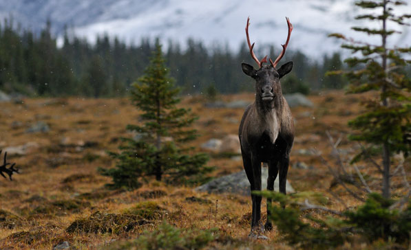 Woodland Caribou © Mark Bradley