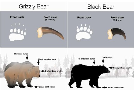 Grizzly bear versus black bear