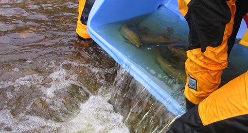 A bucket full of adult salmon being dropped in the river