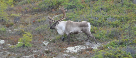 Mealy Mountain Caribou