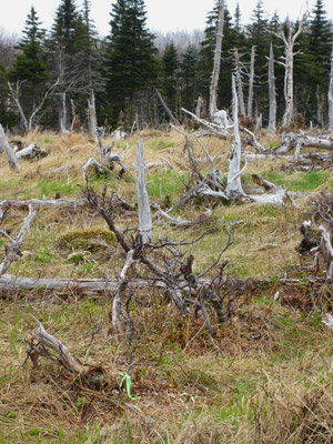 Failed boreal forest regeneration at monitoring station on North Mountain plateau, with open grassland and severely browsed and stunted white birch.