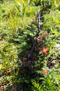A balsam fir, severely browsed by moose
