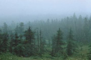 The Boreal Forest: Land of Balsam Fir