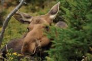 Moose: Our Largest Herbivore