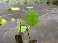 Water-pennywort and flower