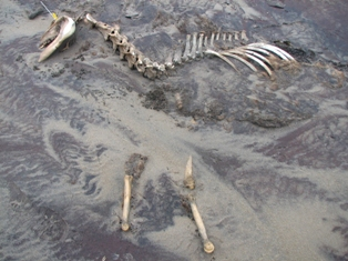 Horse skeleton in the sand