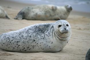 Harbour seals basking on north beach