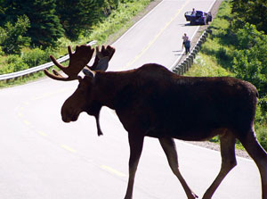 Moose crossing the Cabot Trail