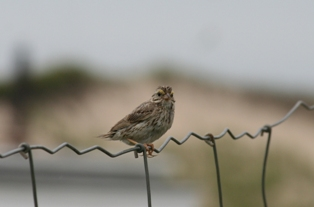 Ipswitch sparrow sitting on fence