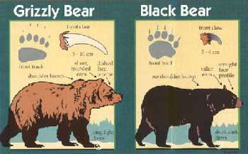 Drawings of grizzly bear and black bear