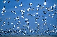 snowgeese