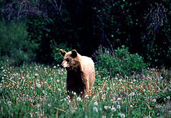 Bear in meadow