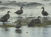 A group of six female Common Eiders on the edge of the water