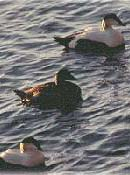 Three Common Eiders on the surface of the water (two males and a female