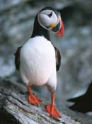 Atlantic puffin standing on top of a rocky cliff