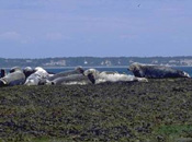 A group of grey seals resting on a rocky reef flat